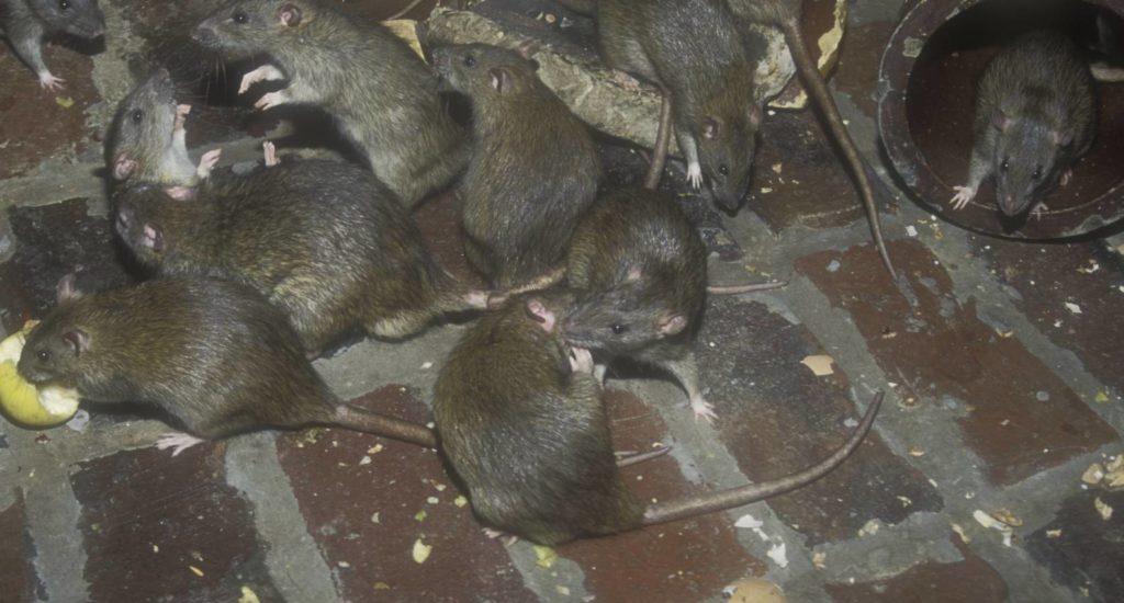 уничтожение крыс в Орске